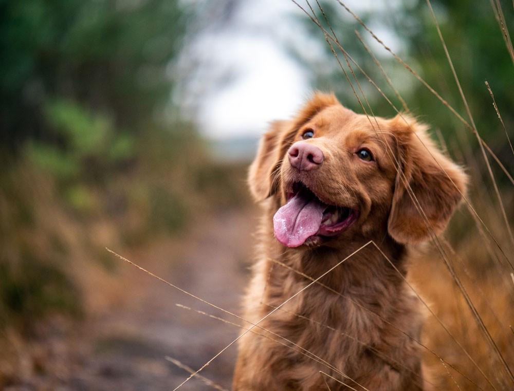 Leishmaniosi canina: trasmissione e primi sintomi di malattia