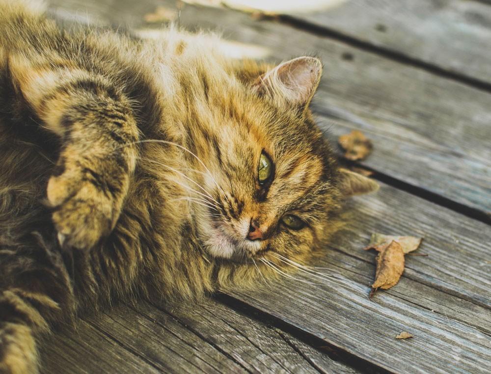 Il gatto anziano: tutti i segreti per l'invecchiamento di successo